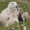 Prairie Kiss by Wade Aiken