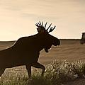 Prairie Moose by Mark Duffy