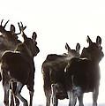 Prairie Moose Saskatchewan by Mark Duffy