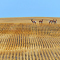 Prairie Pronghorns by Tony Beck
