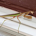 Praying Mantis by Shirley Tinkham