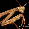 Praying Mantis by Ted Kinsman