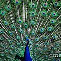 Pretty As A Peacock by Grace Grogan