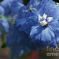 Pretty Blue Delphinia by Sabrina L Ryan