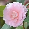 Pretty Camellia by P S