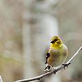Pretty Finch by Cheryl Baxter
