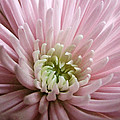 Pretty In Pink by Tanya Jacobson-Smith