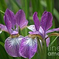 Pretty Pair Of Purple Irises by Living Color Photography Lorraine Lynch
