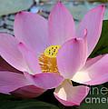 Pretty Pink Lotus by Sabrina L Ryan