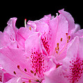 Pretty Pink Rhododendron Blossoms by Tracie Kaska