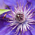 Pretty Purple Clematis by Kathy Clark