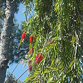 Pretty Red Furry Flowers by Soraya Clarke