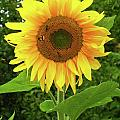 Pretty Sunflower  by Mariola Bitner