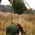 Prickly Bells by Susan Herber
