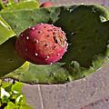 Prickly Pear by Bill Owen