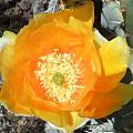 Prickly Pear Cactus Flower by Kume Bryant