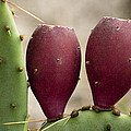 Prickly Pear Cactus Fruit by Kathy Clark