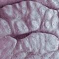 Primate Fingerprint Ridges, Sem by Steve Gschmeissner