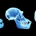 Primate Skulls by D. Roberts