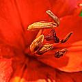 Prime Red by Susan Herber
