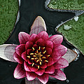 Primo Waterlily by Susan Herber