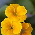 Primrose (primula Polyanthus) by Maria Mosolova