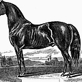 Prize Horse, 1857 by Granger