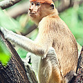 Proboscis Monkey by MotHaiBaPhoto Prints