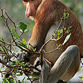 Proboscis Monkey Nasalis Larvatus Male by Ch'ien Lee