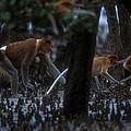 Proboscis Monkeys Travel Over Mangrove by Tim Laman