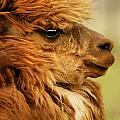 Profile Of A Camelid by Con Tanasiuk