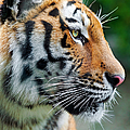 Profile Of A Siberian Tiger by Picture by Tambako the Jaguar