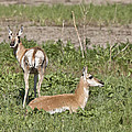 Pronghorn Antelope With Young by Mark Duffy