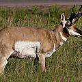 Pronghorn Male Custer State Park Black Hills South Dakota -1 by Paul Cannon