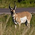 Pronghorn Male Custer State Park Black Hills South Dakota -2 by Paul Cannon