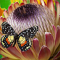 Protea With Speckled Butterfly by Garry Gay