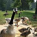Protective Mad Mama Canadian Goose by Kathy Clark