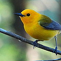 Prothonotary Warbler by Betty Berard