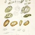 Protozoa, Historical Artwork by
