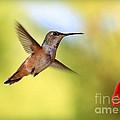 Proud Hummingbird by Carol Groenen