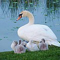 Proud Mother Swan by Jeanette Oberholtzer