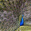 Proud Peacock At Leeds Castle by Jon Berghoff