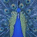 Proud Peacock by Sandra Bronstein