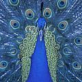 Proud Peacock by Sandra Bronstein