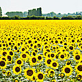 Provencial Sunflowers by Beth Riser