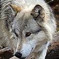 Prowling Wolf  by Steve McKinzie