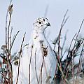 Ptarmigan Lagopus Lagopus, Churchill by Mike Grandmailson