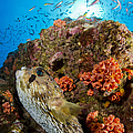 Pufferfish And Reef, La Paz Mexico by Todd Winner