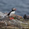 Puffin With Sand Eels by Louise Heusinkveld