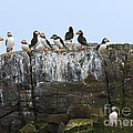 Puffins On A Cliff Edge by Louise Heusinkveld